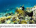 Giant moray in Sipadan, Borneo, Malaysia 19234069
