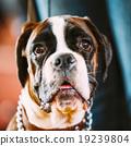animal, boxer, dog 19239804
