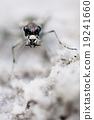 Tiger beetle 19241660