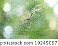 Spider 19245097