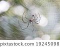 Spider 19245098