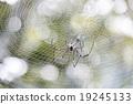 Spider 19245133