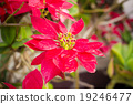 Red poinsettia plants 19246477