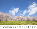 Cherry Blossoms 19247335