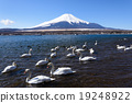 Flock of Swans in Lake Yamanaka.  19248922
