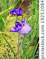 purple Japanese iris flower 19251084