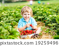 Little kid boy picking strawberries on farm, outdoors. 19259496