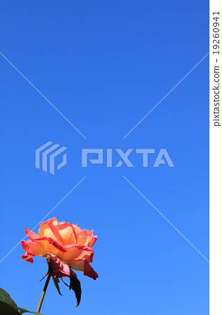 Morning cloud · rose flower and blue sky 19260941