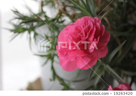 Pink carnation 19263420