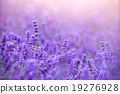 Sunset over a violet lavender field in Hokkido 19276928