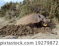 armadillo, wildlife, animal 19279872