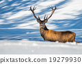 male deer portrait while looking at you 19279930