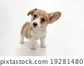 柯基犬小狗 19281480