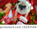 Pug dog wearing santa hat waiting for Chrismas. 19283566