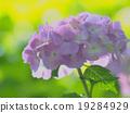 hydrangea 19284929