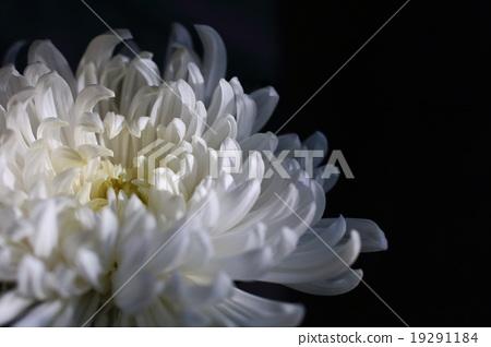 Chrysanthemum 19291184