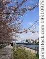 樱花盛开Sumidagawa Nagashiro桥 19310975