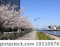 樱花盛开Sumidagawa Nagashiro桥 19310976