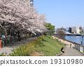樱花盛开Sumidagawa Nagashiro桥 19310980