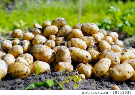 Harvesting potatoes 19315933