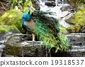 นกยูง,นก,สวย 19318537