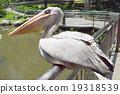 펠리컨, 물가, 동물원 19318539