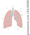 Lung and bronchial tube (text) 19328980