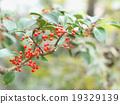 결실, 나무열매, 열매 19329139