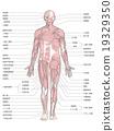 anatomy, flesh, human 19329350