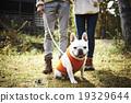 法国斗牛犬 19329644