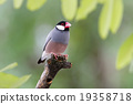 Java sparrow Java finch Lonchura oryzivora Female 19358718