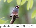 Java sparrow Java finch Lonchura oryzivora Female 19358718