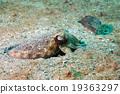 Squid cuttlefish underwater on black lava sand 19363297