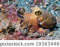 octopus, underwater, coconut 19363446