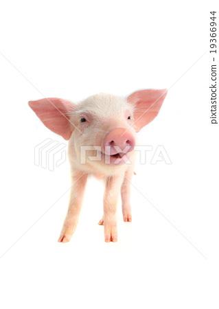 smile pig 19366944