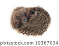 Hedgehog 19367034