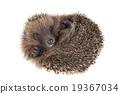 Hedgehog 19367034