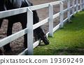 Frisian Horse Grazing 19369249