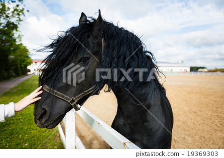 Portrait of a frisian horse 19369303