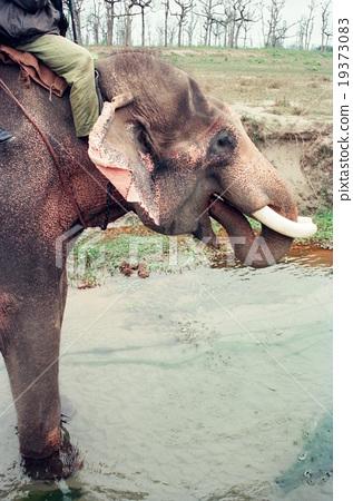 Elephant drinking water (Chitwan / Nepal) 19373083