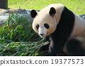 팬더, 판다, 자이언트 팬더 19377573