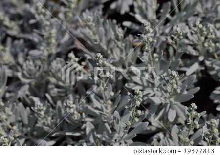 Mokubyakko的花蕾 19377813