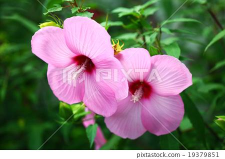 ดอกไม้สีพีชอเมริกันฟุโย 19379851