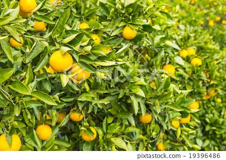 Stock Photo: valencia orange, citrus fruits, fruits