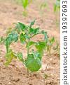 potato 19397693