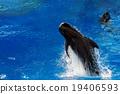 whale, pilot, sea 19406593