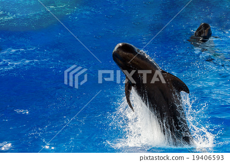 pilot whale jumping outside the sea 19406593