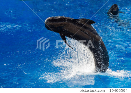 pilot whale jumping outside the sea 19406594
