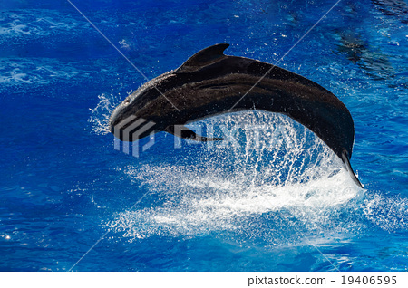 pilot whale jumping outside the sea 19406595