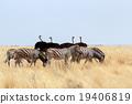 herd of Zebra and ostrich in african bush 19406819